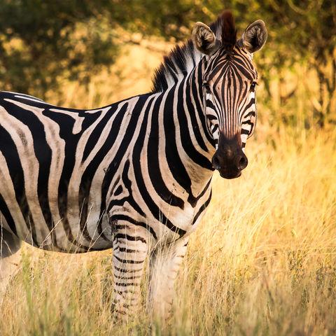 Zebra im Krüger Nationalpark © Gabriel Robledo, Dreamstime.com
