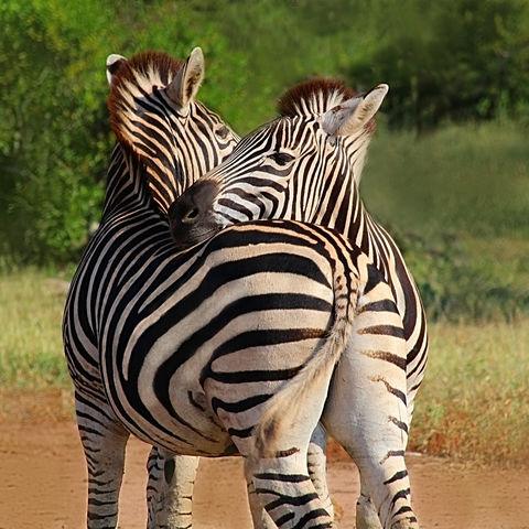 Zebra-Pärchen im Krüger NP, Südafrika