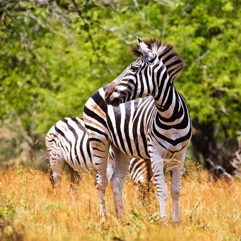 Zebra im Krüger Nationalpark, Südafrika