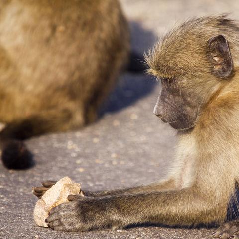 Kleiner Affe im Krüger Nationalpark, Südafrika