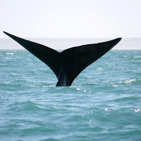 Schwanzflosse eines Wales an der Küste, Südafrika