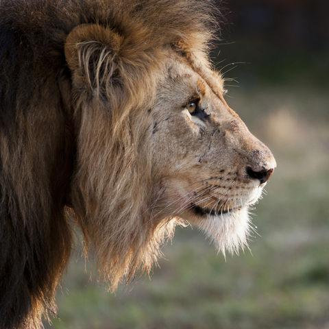 Männlicher Löwe im Profil, Südafrika