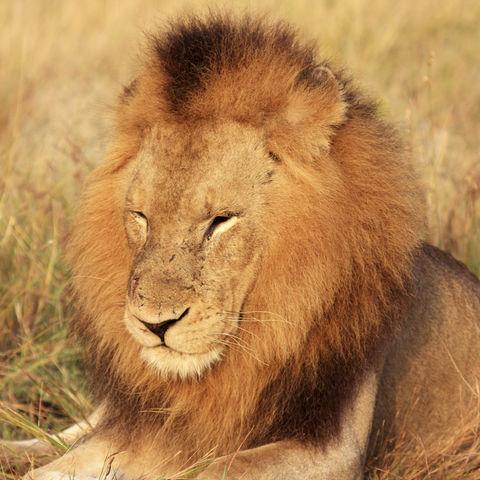 Der König der Tiere mit großer Mähne, Südafrika