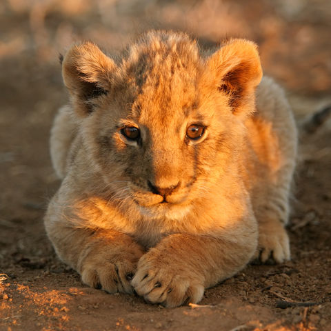 Löwenbaby, Südafrika