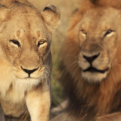Stolzes Löwenpaar, Südafrika