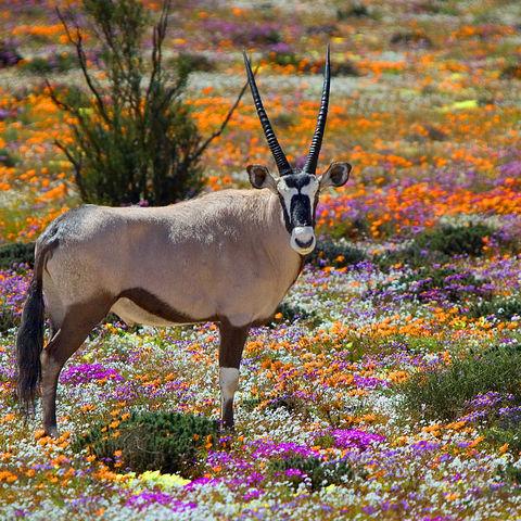 Oryxantilope in einem Blumenfeld des Namaqualand, Südafrika