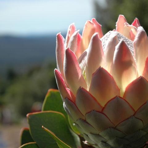Die Nationalblume Südafrikas