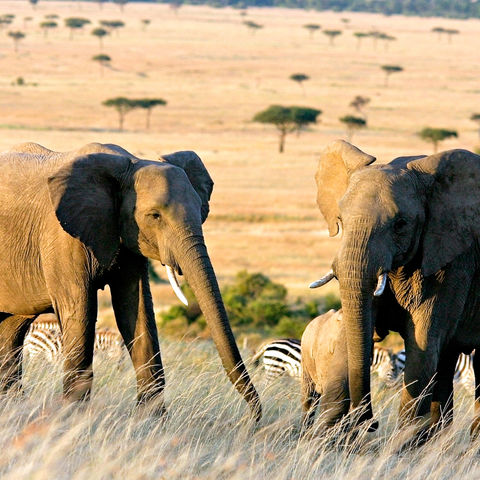 Elefanten in der Savanne, Südafrika