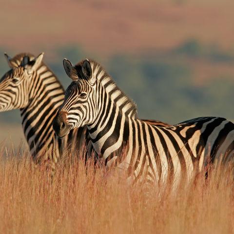 Aufmerksame Zebras, Südafrika