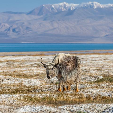 Yak vor dem Karakul See im Pamir Gebirge © Masar1920, Dreamstime.com