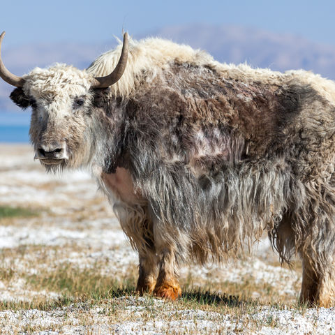 Riesiges Yak am Karakul See, Pamir Gebirge, Tadschikistan