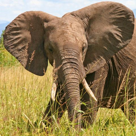 Afrikanischer Elefant, Tansania