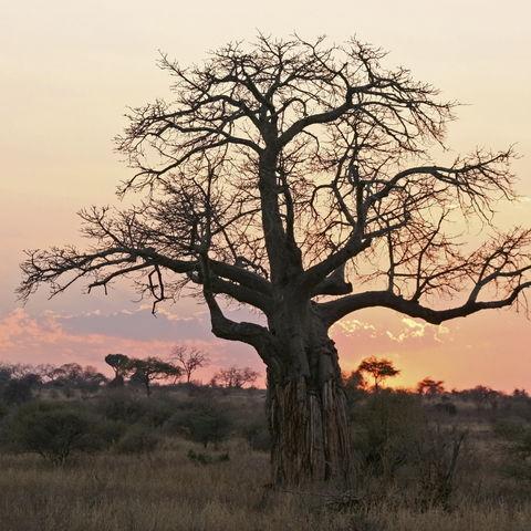 Baobab-Baum bei Sonnenuntergang, Tansania