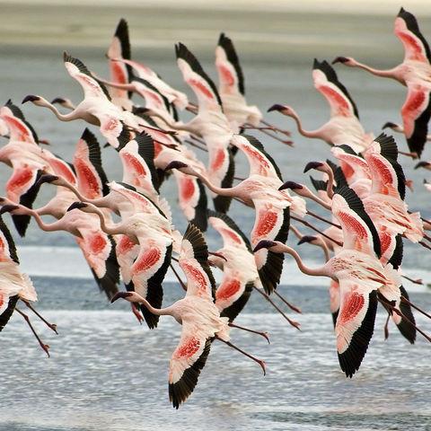Flamingo-Schwarm, Tansania