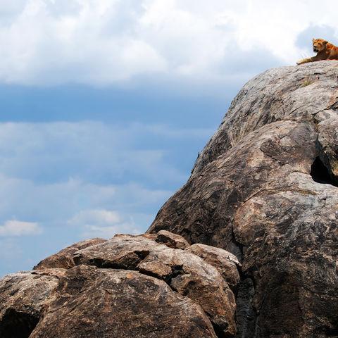 Löwin auf einem Inselberg, Tansania
