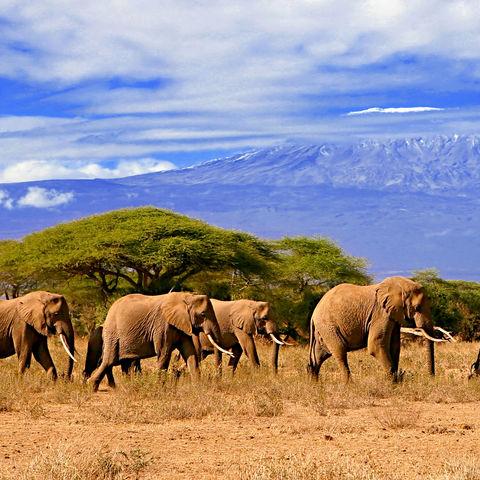 Elefantenherde vor dem Kilimandscharo, Tansania