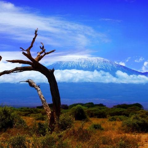 Toter Baum vor dem Kilimandscharo, Tansania
