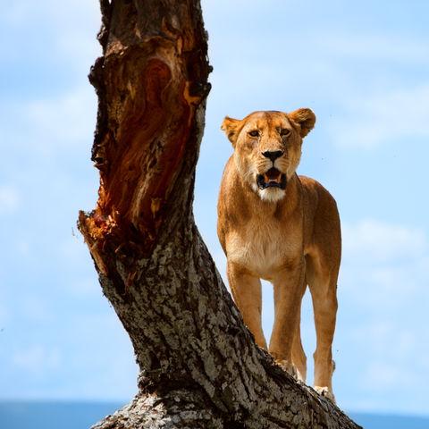 Stolze Löwin, Tansania