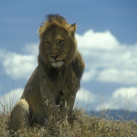 Majestätischer Löwe, Tansania