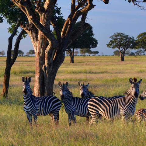 Zebras im Mikumi-Nationalpark, Tansania