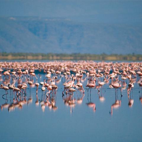 Flamingos auf dem Natron-See, Tansania