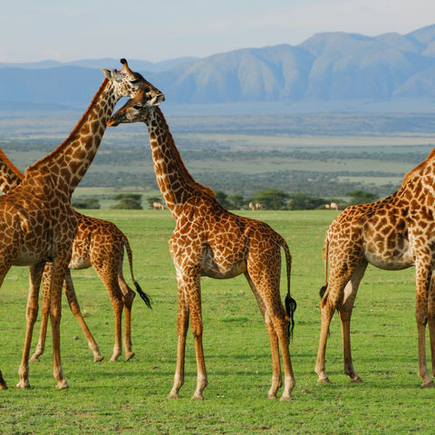 Giraffenherde in der Savanne, Tansania