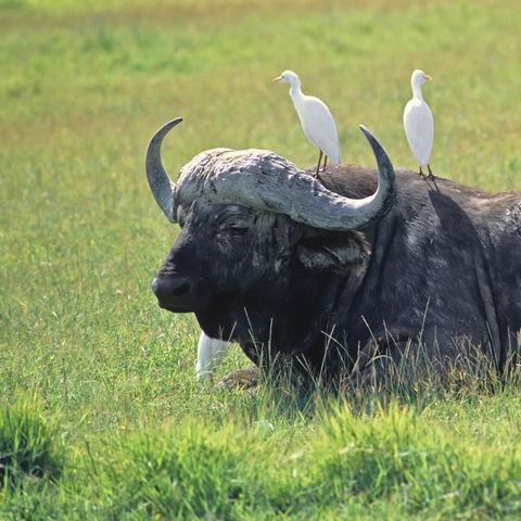 Afrikanischer Büffel von Vögeln besetzt, Tansania