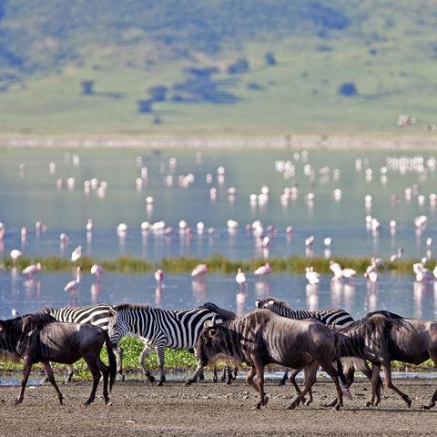 Flamingos, Gnus und Zebras im Ngorongoro Krater, Tansania