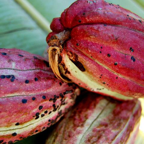 Kakaofrüchte auf Sansibar, Tansania