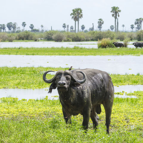 Afrikanischer Büffel im Selous Game Reserve, Tansania