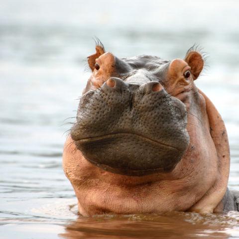 Flusspferd im Rufiji River, Tansania