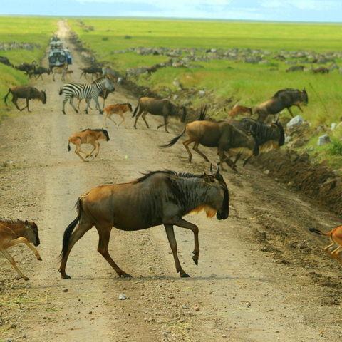 Beeindruckende Gnu- und Zebrawanderung in der Serengeti, Tansania