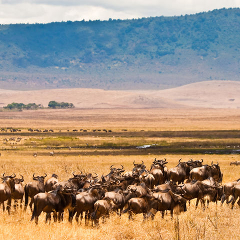 Eine Herde Wildtiere in der Serengeti, Tansania