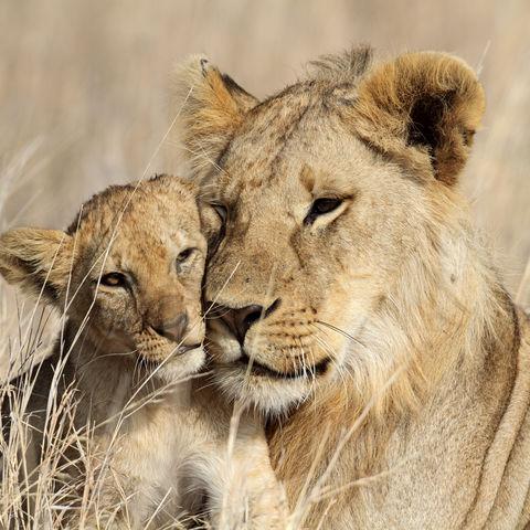 Großer Löwenbruder passt auf den kleineren auf, Serengeti Nationalpark, Tansania