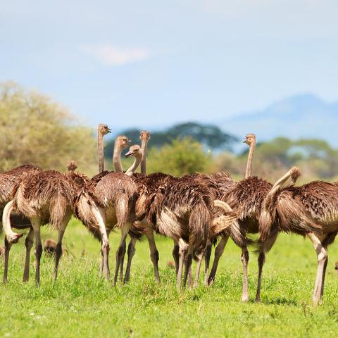 Strauße in der Serengeti, Tansania