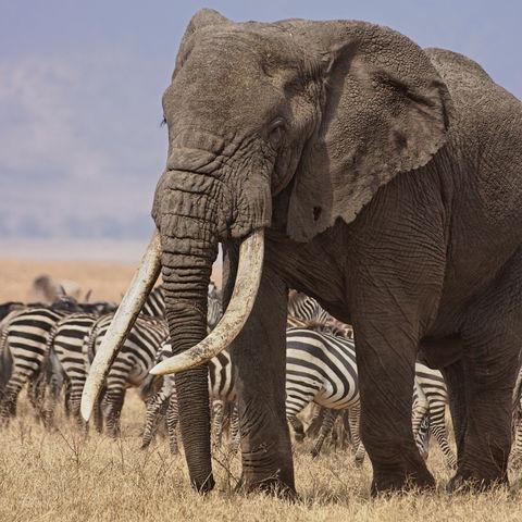 Elefantenbulle und Zebras in der Steppe, Tansania