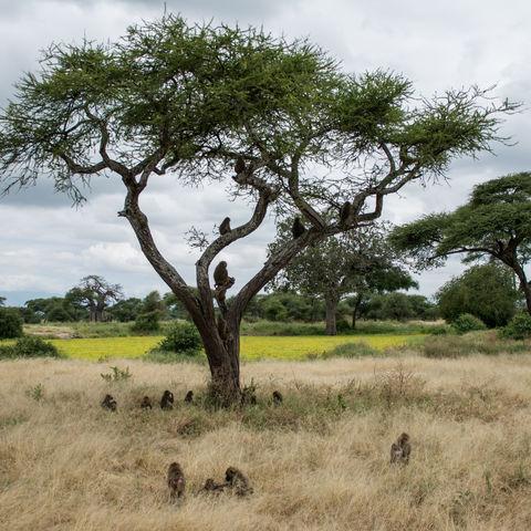 Paviane im Tarangire-Nationalpark, Tansania
