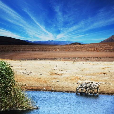 Zebras an einer Wasserstelle, Tansania