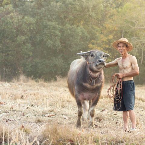 Ein Büffelfarmer auf dem Land, Thailand