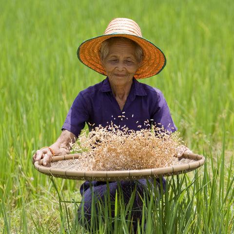 Eine Arbeiterin im Reisfeld © Digitalpress, Dreamstime.com