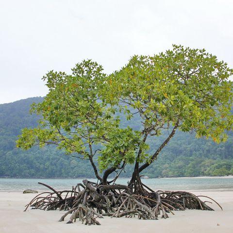 Mangroven am Strand, Thailand
