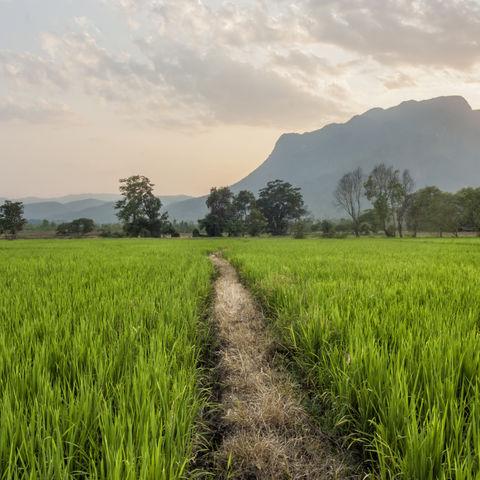 Pfad durchs Reisfeld, Thailand