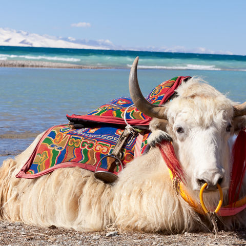 Weißer Tibet-Yak am Namtso See, Tibet