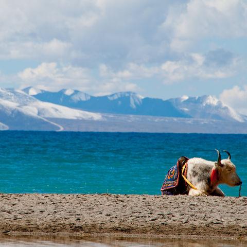 Weißer Yak vor einem Bergsee, Tibet