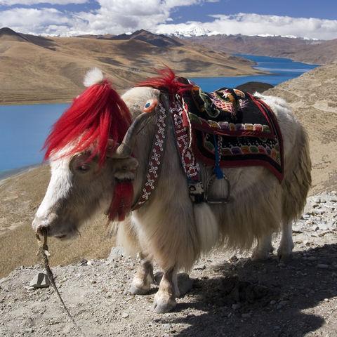 Weißer Tibetischer Yak, Tibet
