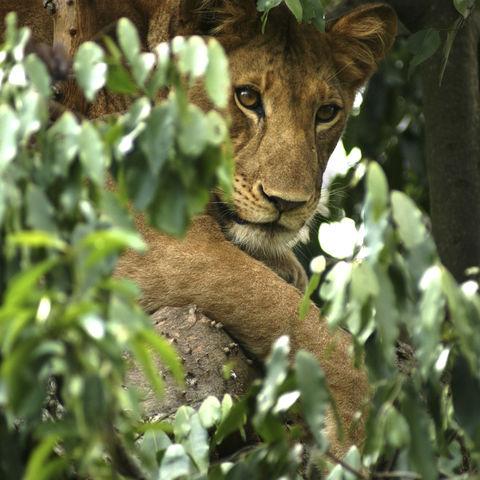 Afrikanischer Löwe auf einem Baum, Uganda