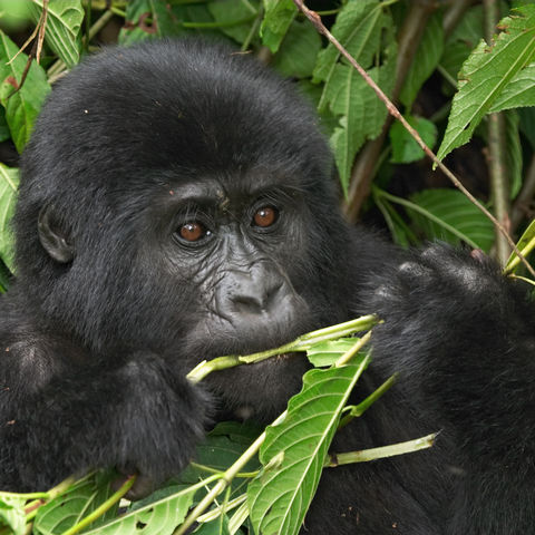 Gorilla Baby im Bwindi Impenetable NP, Uganda