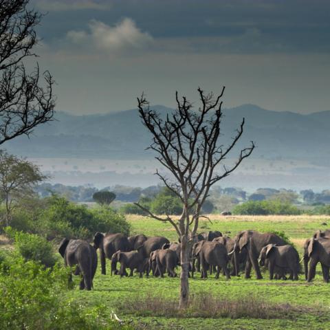 Elefanten in der Wildnis, Uganda