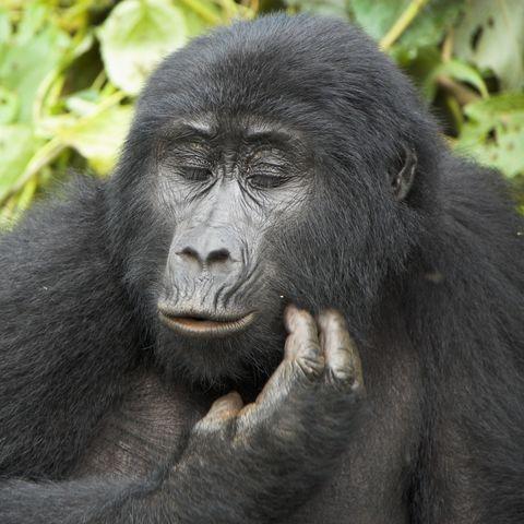 Gorilla bei der Bartpflege, Uganda