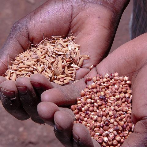 Ein ugandischer Bauer zeigt sein Saatgut, Uganda
